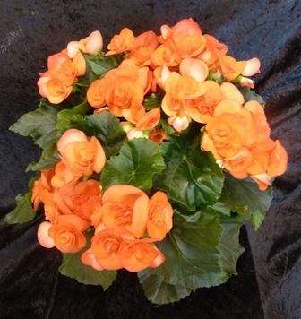 Horticulture plantes d 39 int rieur garden center - Begonia d interieur arrosage ...