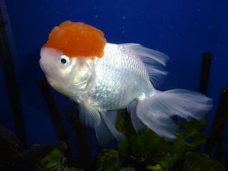 Animalerie aquariophilie garden center andrefleurs for Aquarium poisson rouge pompe