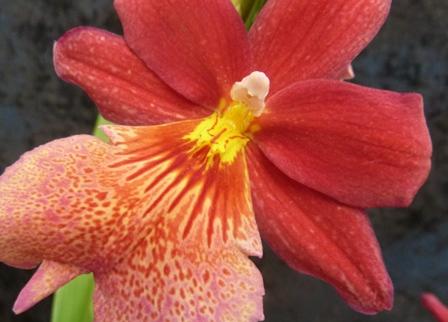 Horticulture plantes d 39 int rieur orchid es cambria garden center andrefleurs vaud - Prendre soin des orchidees ...