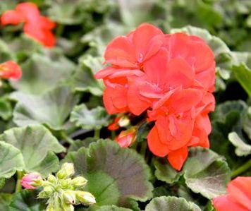 Horticulture plantes de saison terrines et for Geranium d interieur